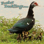 foster-ducklings